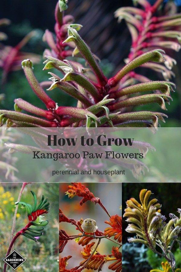How To Grow Kangaroo Paw Anigozanthos Flower Kangaroo Paw Kangaroo Paw Plant Home Vegetable Garden