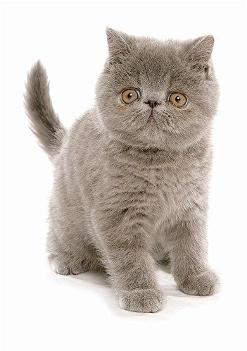 Image: The exotic shorthair
