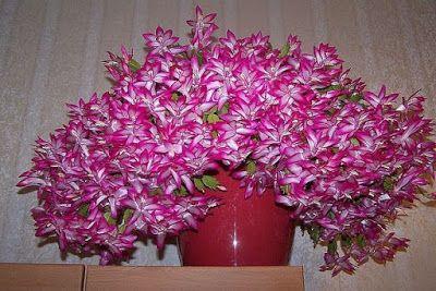 Чтобы растения цвели ещё красивее и пышнее, садоводы рекомендуют в  период бутонизации вносить подкормки. Одной из таких подкормок является  касторовое масло, благодаря которому цветение становится …