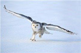 CoolPetZ | Social Pet Network Baykuşların en yaygın türlerinden biri: kar baykuşu! #kuşlar #CoolPetZ