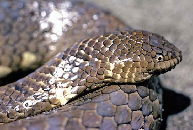 The leaf scaled sea-snake inhabits two reefs in the Timor Sea.