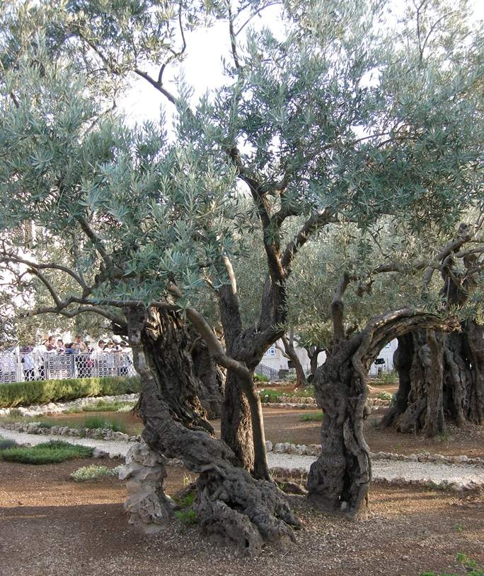 """Gethsemane"" is a garden at the foot of the Mount of Olives in Jerusalem most famous as the place where, according to the gospels, Jesus and his disciples are said to have prayed the night before he was arrested.  Photo by Yoav Dothan"