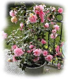 Le camelia - mettre en pot a l'entrée de la maison .... peut être 2 à floraisons differentes