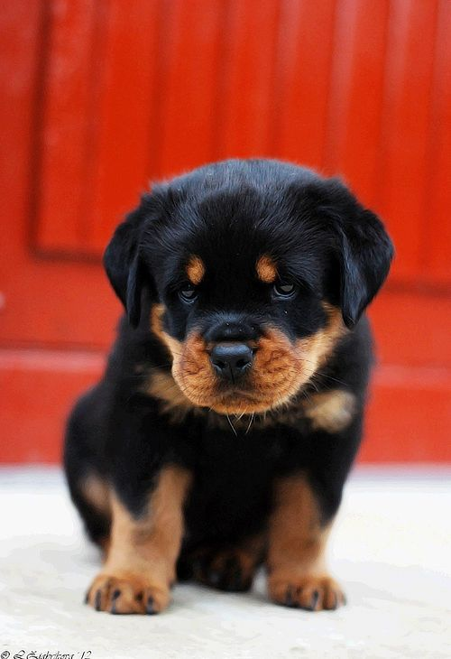 fyeahcanines:    45 days old (by Liisaz88)        Cute Rottweiler!