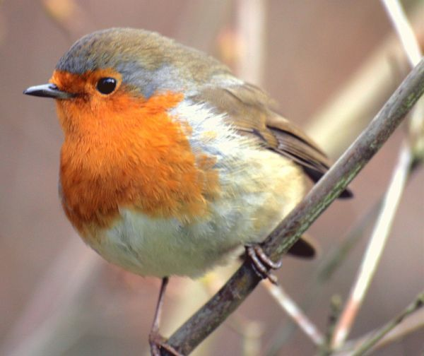 The Red-breasted Robin is the First Sign of Spring
