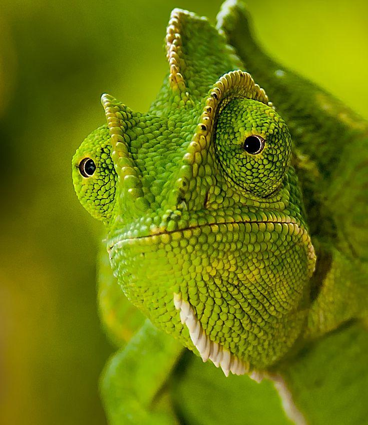 Indian Chameleon (Chamaeleo zeylanicus   Reptiles: Lizards ...