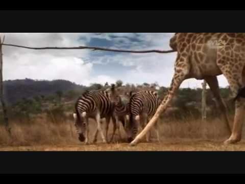 Dieren uit Zuid-Afrika spelen voetbal