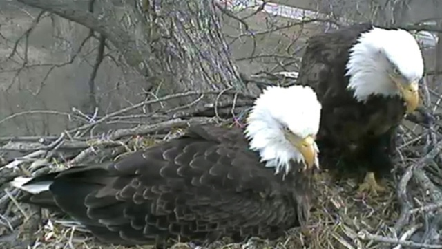 Live Bald Eagle Cam
