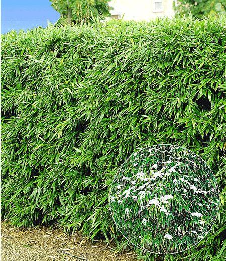 Die dekorativ grün belaubte Bambus-Hecke wird schnell zum idealen Sichtschutz in Ihrem Garten. Filtert schlechte Luft & Straßenlärm und hält ungebetene Blicke fern. Schön dicht wachsende Sorte, die auch im Winter grün bleibt!