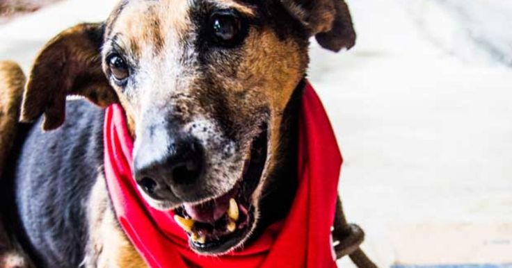 SP Prefecture promotes Christmas campaign for adoption of pets 'elderly' Action 'Adopt a good old dog will be held on Saturday in the North Zone. Zoonoses Center has 500 dogs and cats welcomed waiting for an owner