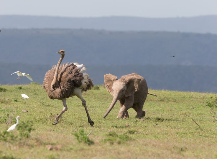 This ostrich got into a real a flap when it was chased by a baby elephant. The mischievous elephant calf ran after the bird while the herd were grazing in the Addo Elephant National Park in South Africa.  See more on Addo Elephant Park Game Reserve accommodation https://goo.gl/kDauz5  Photo & Info https://goo.gl/VK4F37
