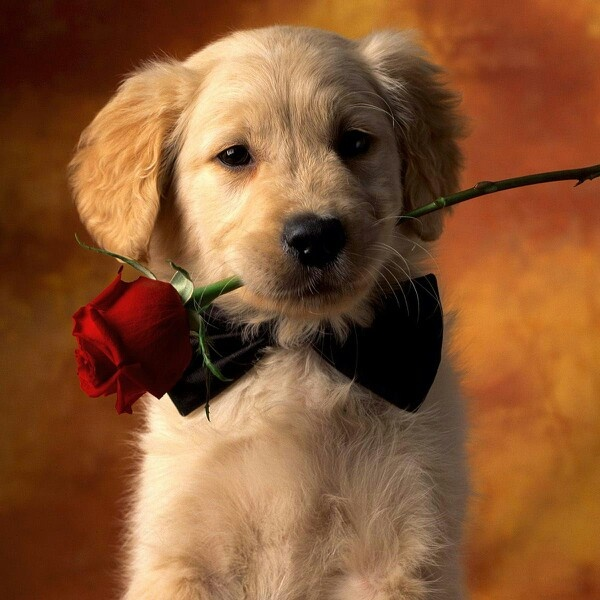 Here is a rose so sweet