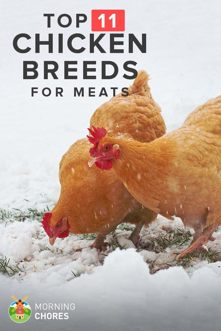 11 Best Chicken Breeds for Meat (and Dual Purpose) to Raise in Your Backyard: http://morningchores.com/meat-chickens/