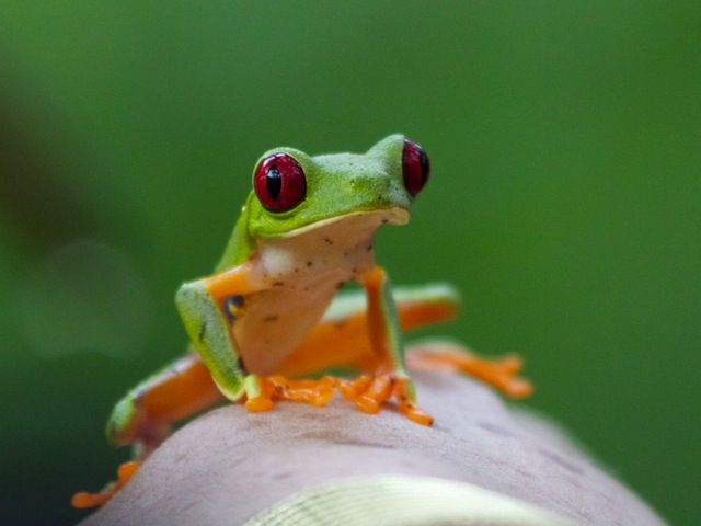 Best REAL FROGS Images On Pinterest Animal Fun Environment - Real life kermit the frog discovered in costa rica