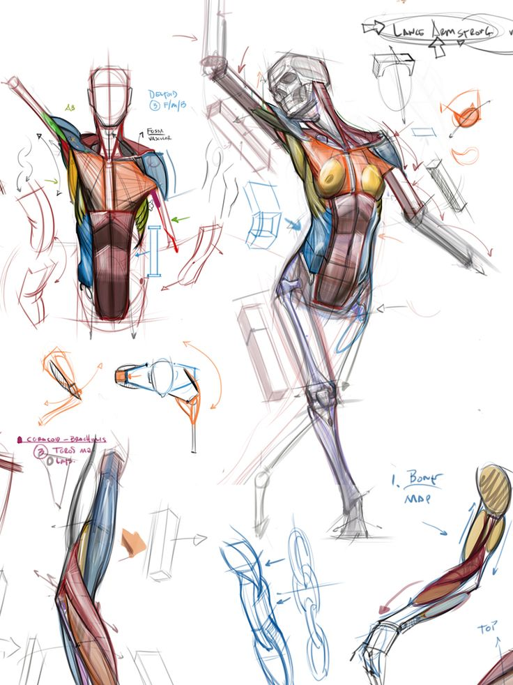Female Muscles Anatomy 2331402 1cashingfo