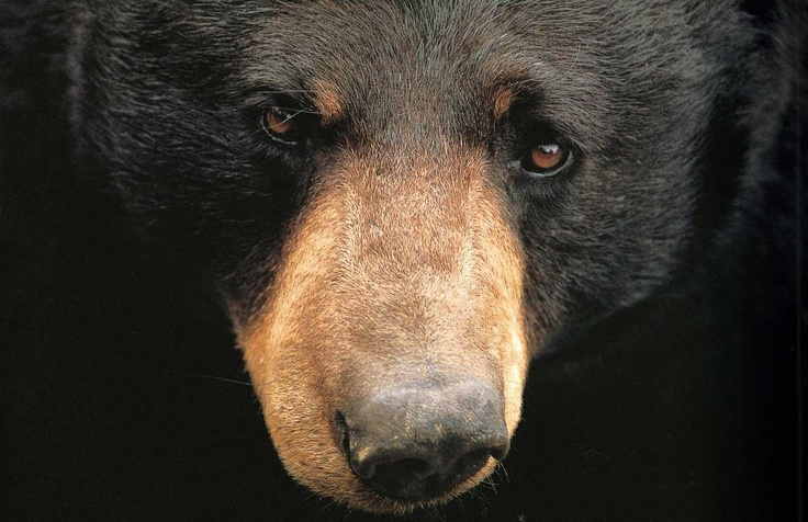 54 Best Black Bears In The Smokies Images On Pinterest