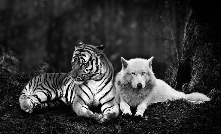 DeviantArt: More Like A tiger hugs a wolf by Meteor-Panda