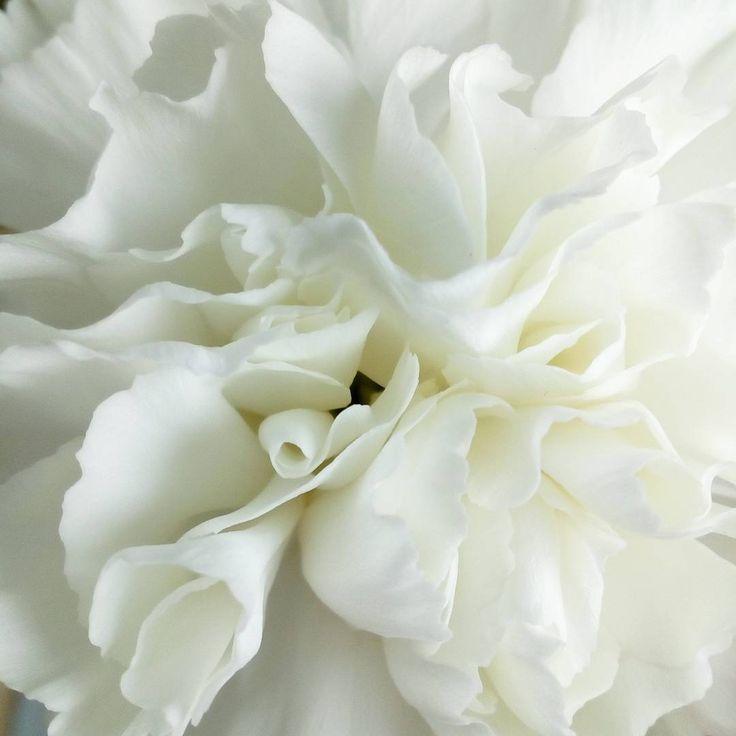 Goździki są piękne! #kwiaty #flowers #goździk #white #macro #macrophotography #claudiapl