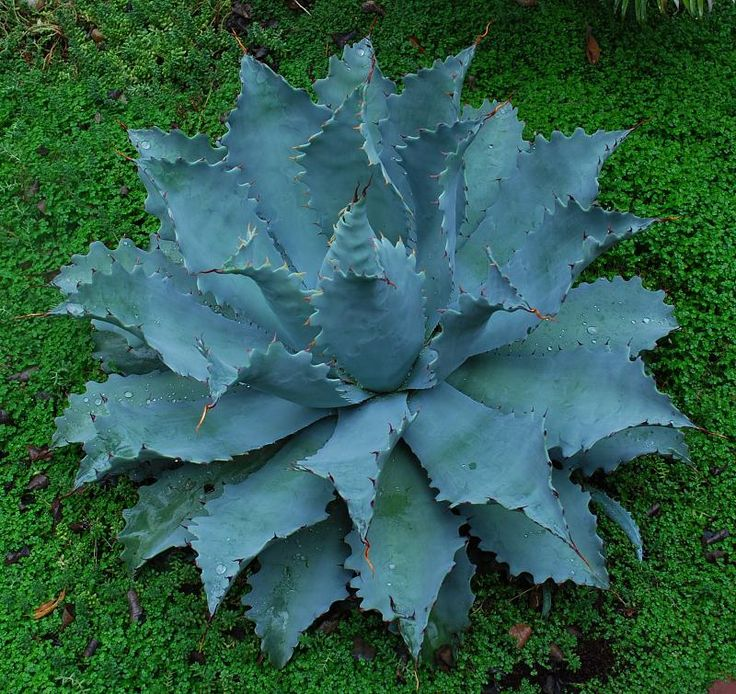 What kind of agave is this?  I love it.  For my rock garden in my head.