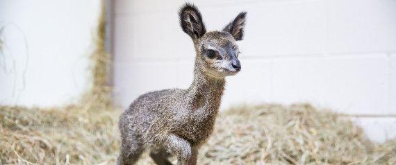 This Teeny, Tiny Dwarf Antelope Looks Like A Disney Creature Come To Life , navrazvam tehni4eski  za savsem li4en dostap na Boiko