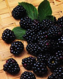 Chester Thornless Blackberries. The perfect all-around blackberry. This is what I'm planting this year!