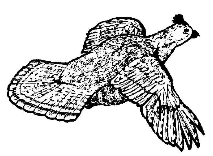 Ruffed+Grouse+Drawings   Ruffed Grouse Drawing The finest ruffed grouse