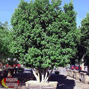 Image result for multitrunk trees