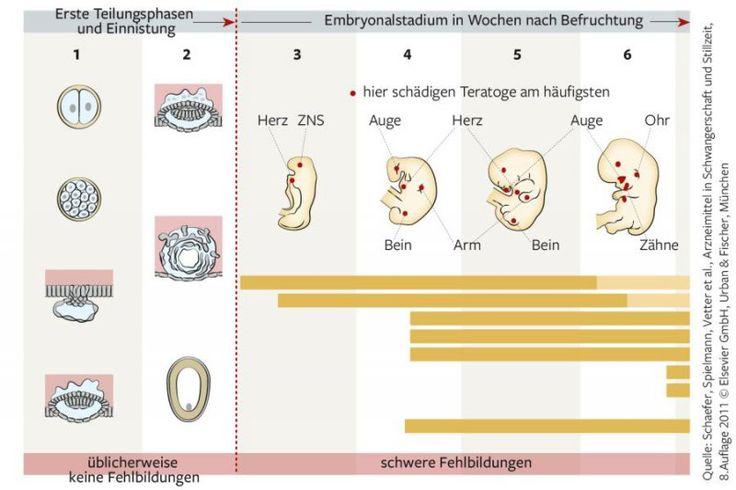 Mamiweb.de - Die Entwicklung vom Embryo zum Fötus