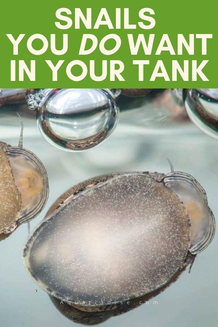 Aquarium snails you do want in your tank aquarium