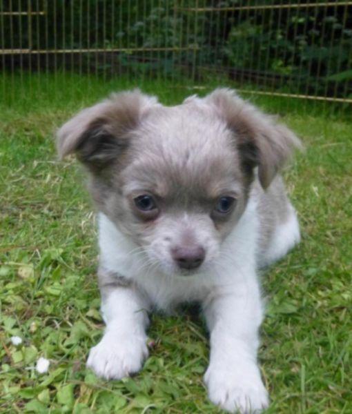 Reinrassiger Chihuahua Langhaar Welpe Chihuahua welpen