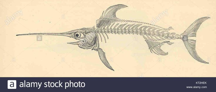 Download this stock image: 35165 Skeleton of the Sword-Fish, Xiphias gladius - KT2HEK from Alamy's library of millions of high resolution stock photos, illustrations and vectors.