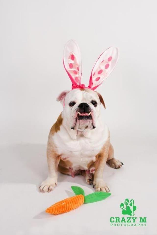 Easter Bully 2012 Love: Easter Bullies, Bulldogs Pet, Bullies 2012, Easter Bulldogs, English Bulldogs, Easter Spr, Easter Bunnies, Bullies Bunnies, Bull Dogs