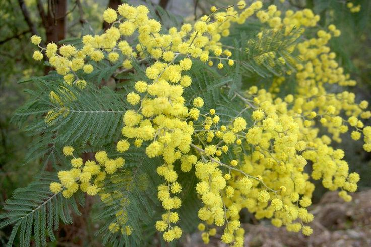 Acacia dealbata (Tasmania).  Hardy in coastal and relatively mild parts of the UK except in severe winters and at risk from sudden (early) frosts. Full sun, sheltered position.  Borders, patios, pots.  More Info: http://www.telegraph.co.uk/gardening/howtogrow/3346137/Mimosa-How-to-grow.html  |  Available here: http://www.thompson-morgan.com/flowers/all-other-seeds-and-plants/trees/acacia-dealbata/p1010TM