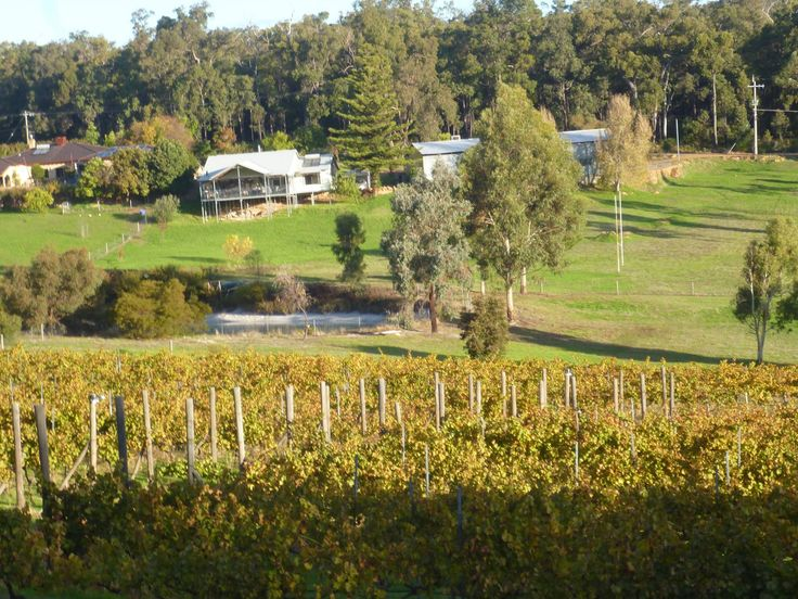 The vines at Hainault Winery