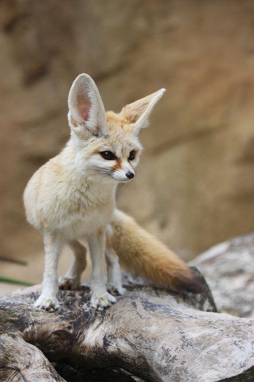 Les 205 meilleures images du tableau renards des sables - Pagina da colorare fennec fox ...