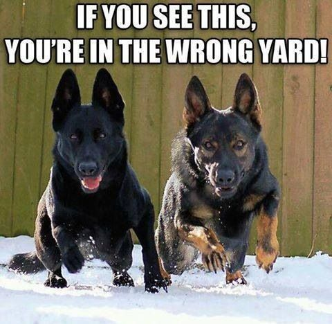 German Shepard's are considered to be one of the best guard dogs