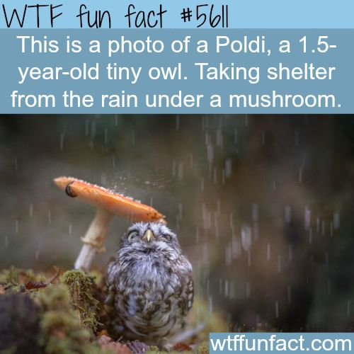 A Poldi - A tiny owl taking shelter under a mushroom - WTF fun facts