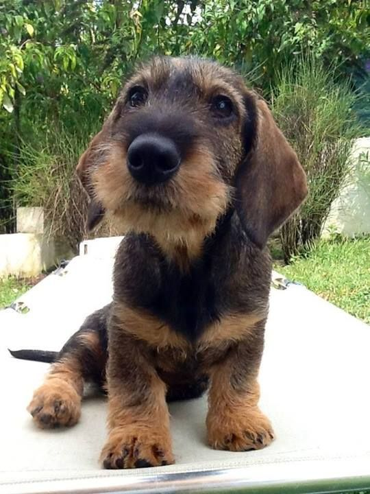 Precious wire-haired dachshund