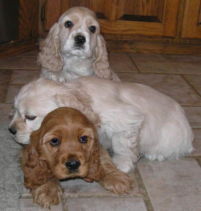 1/2 the reason why I'm buying a house finally is so I can get a cocker spaniel!!! OMG love them!!