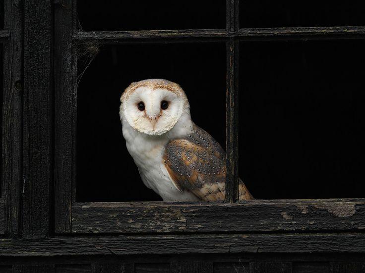 infinite-paradox:  Barn Owl by Pat Walker