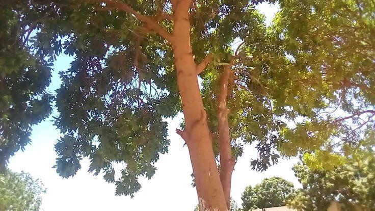 شجرة الماهوجني وفوائدها Tree And Its Benefits Swietenia Mahagoni L Garden
