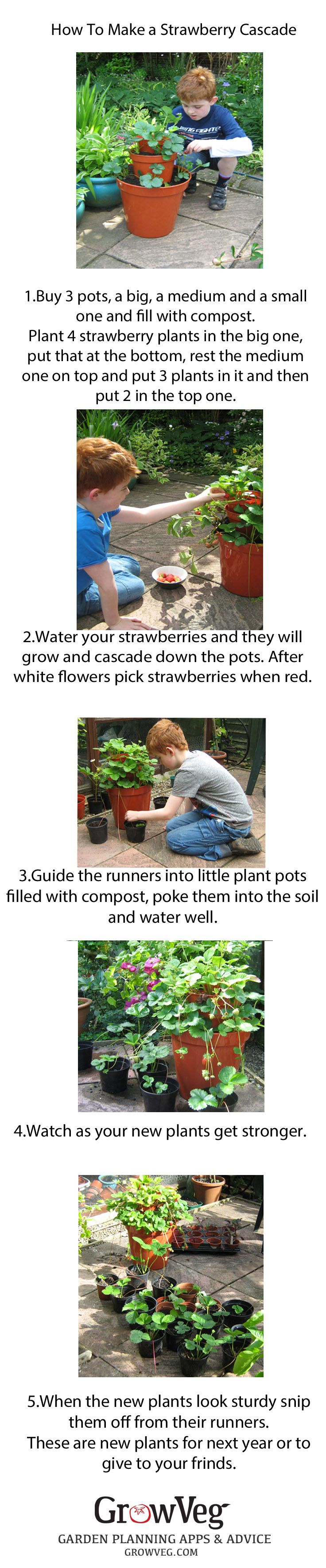 How to make a Strawberry Cascade using 3 different size pots and then after having picked the strawberries how to use the strawberry runners to create new plants for next year or to swap or give to friends.