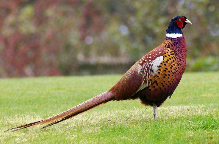 Understanding Pheasants for a Successful Bird Hunt