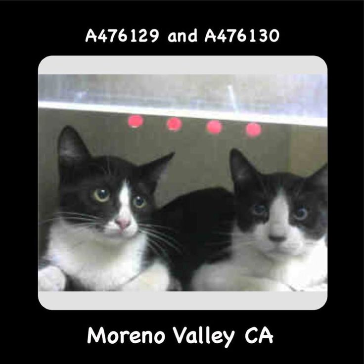 BECOMES URGENT & AT RISK AFTER JULY 27TH  #A476129 Moreno Valley CA black and white Domestic Shorthair. The shelter thinks I am about 4 months old I may be a feral cat. I have been at the shelter since Jul 21 2017 and I may be available for adoption on Jul 27 2017 at 7:00AM.  http://ift.tt/2uOrv4y  Moreno Valley Animal Shelter at (951) 413-3790 Ask for information about animal ID number A476129  #A476130 Moreno Valley CA black and white Domestic Shorthair. The shelter thinks I am about 4…
