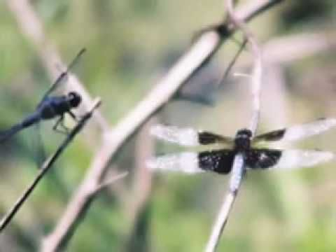 Dragonflies with digital instruments; see blue and yellow butterfly pin for list of sheet music. If you look by collections, it it is an Original piano composition in Pool of Reflections.