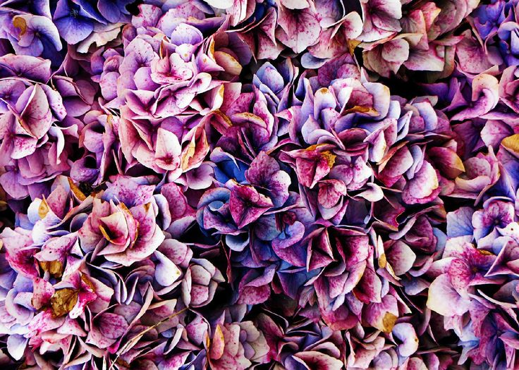 My photo of Hydrangea taken in the local park. Edited in Adobe Photoshop.