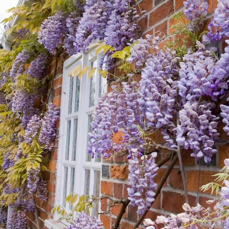 Wisteria sinensis 'Prolific' (Large Plant) - Climbing Seeds & Plants - Thompson & Morgan