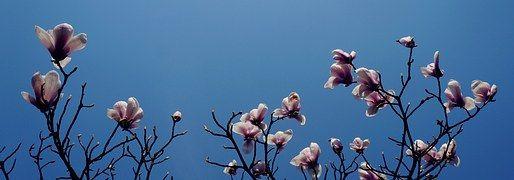 Magnolia, Hangzhou, Książę Bay, Oddział