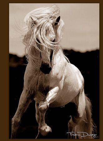 cheval Andalou, Ibérique, pure race Espagnol et Lusitanien vente de chevaux