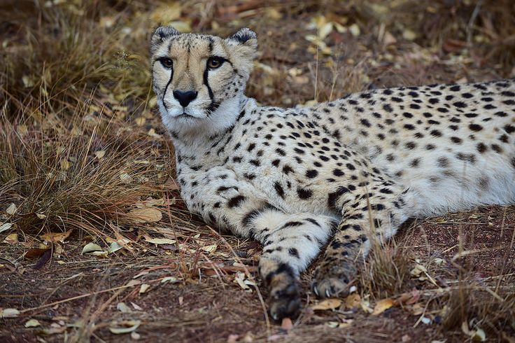 De Wildt Cheetah and Wildlife Centre, Hartbeespoort, North West, South Africa | by South African Tourism